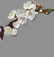 flowering apricot vector image