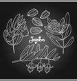graphic jojoba plant vector image