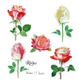 Roses watercolor flowers vector image vector image