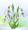 Snowdrops in snow vector image vector image