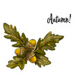 oak leaves and acorns isolated on white vector image
