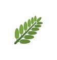 isolated acacia leaf flat icon leaves vector image