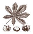 chestnut botanical vector image