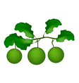 Three Fresh Limes Hanging on A Tree vector image