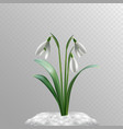 spring snowdrops and snow vector image