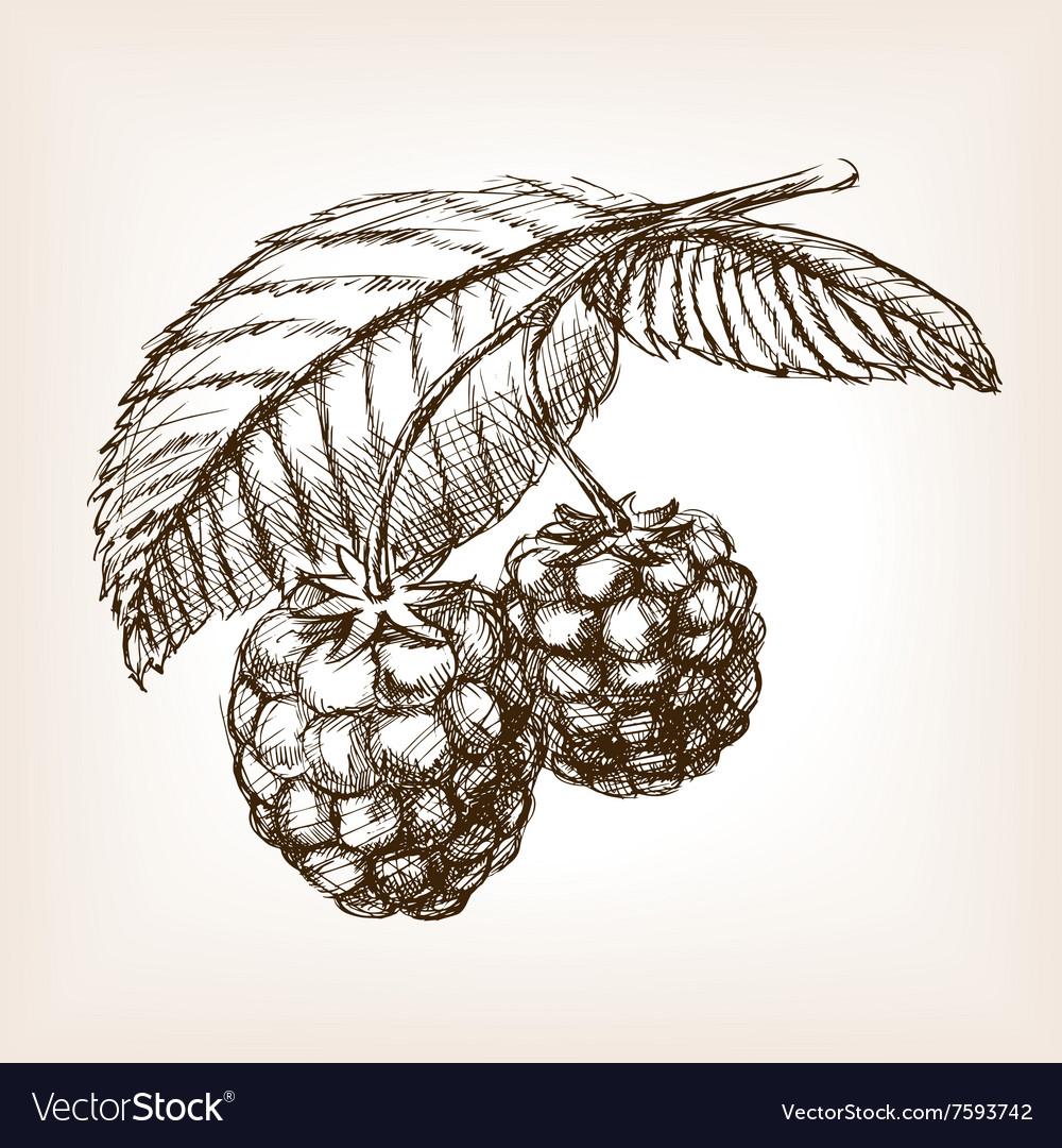 Raspberry hand drawn sketch style vector