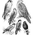 Falco vector image vector image
