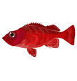 grouper vector image vector image
