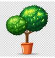 bonsai tree in clay pot vector image