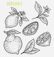 sketch of citrus tropical lemon harvest vector image