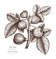 vintage fig fruit sketch vector image