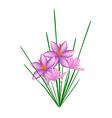 Purple Crocus Sativus Flower on White Background vector image
