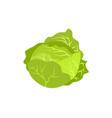Head of cabbage icon vector image