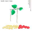 Centrosema Pubescens Bean with Vitamin B9 and K vector image vector image