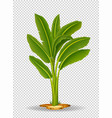 banana tree on transparent background vector image