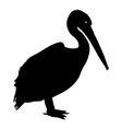 silhouette bird pelican on a white background vector image