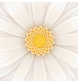 White gerbera flower square vector image
