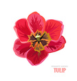hand drawn tulip vector image