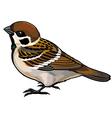 tree sparrow vector image