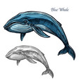 blue whale isolated sketch for sea animal design vector image