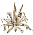 engraving of agave vector image