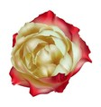 Tea rose isolated vector image vector image