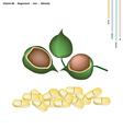Macadamia Pods with Vitamin B6 Magnesium and Iron vector image