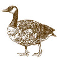 engraving drawing of canada goose vector image