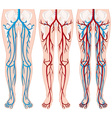 Blood vessels in human legs vector image