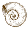 engraving of spirall shell vector image