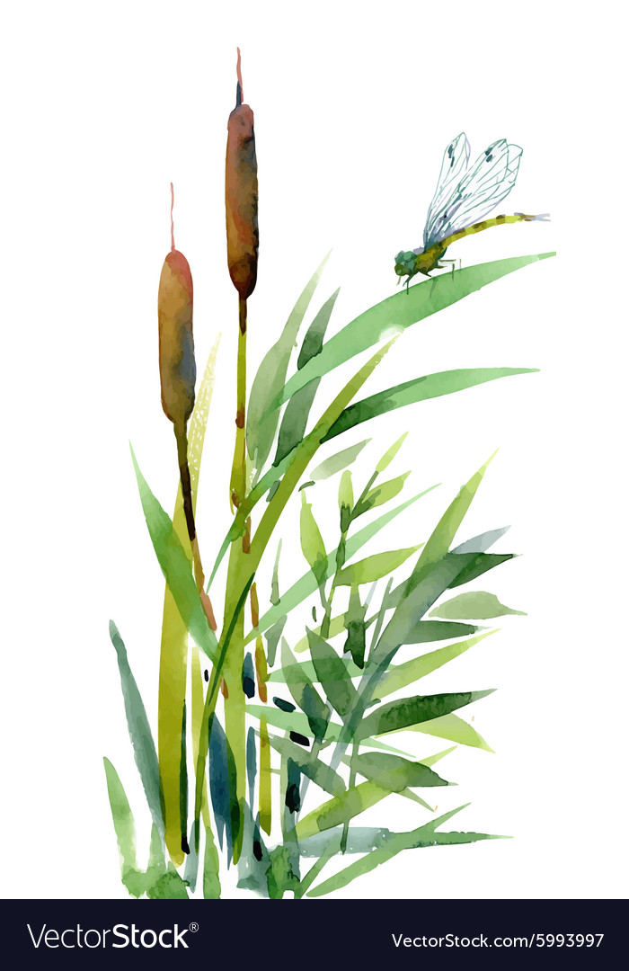 Watercolor reeds with leaves closeup isolated on vector