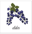 Sprig of elderberry vector image