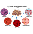 Diagram of different stem cells vector image