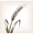 Wheat ear sketch style vector image