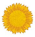 Sunflower over white vector image