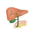 The anatomical structure of the liver gallbladder vector image