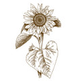 engraving of sunflower vector image