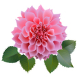Pink chrysanthemum or dahlias flower with leaves vector image