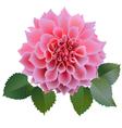 Pink chrysanthemum or dahlias flower with leaves vector image