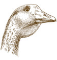 engraving drawing of big goose head vector image