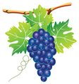 grape cluster vector image