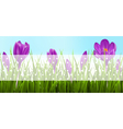 Green grass lawn and violet crocuses with vector image