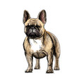 beautiful french bulldog vector image