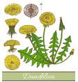 hand drawn colored dandelion vector image