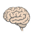 Human brain Stock vector image