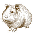 Engraving drawing of guinea pig vector image