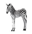 Zebras foal vector image vector image