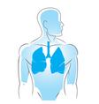 internal organs lungs vector image