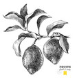 hand drawn branch of lemons vector image