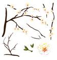 prunus mume - white chinese plum japanese apricot vector image